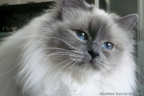 The gallery for --> Lilac Point Ragdoll Cat Pusheen